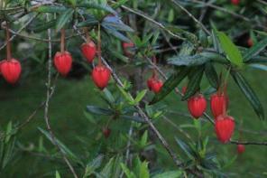 Milner Gardens Plant Pick Chilean lantern tree