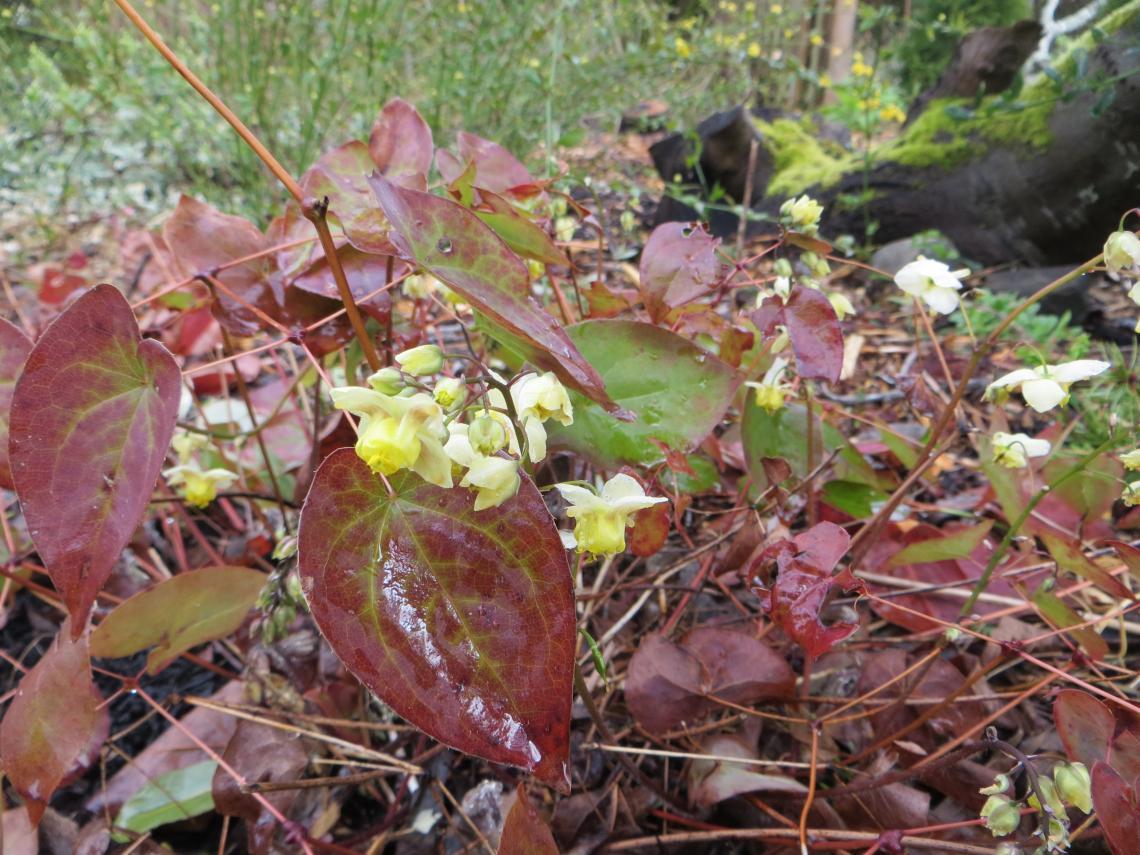 Epimedium versicolor 1