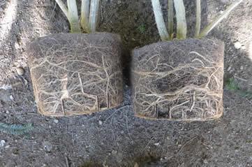 pot bound rootballs