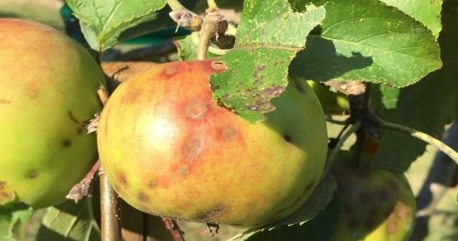 apple scab fungus on an apple
