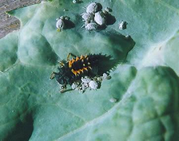 Ladybeetle larva