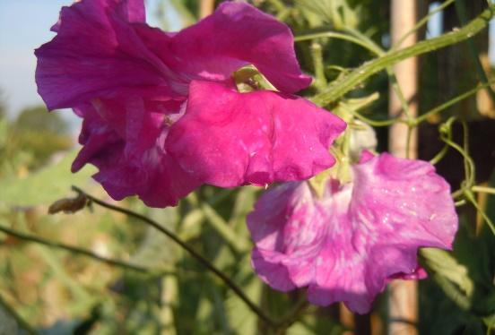 Milner Gardens FAQ Lathyrus odoratus