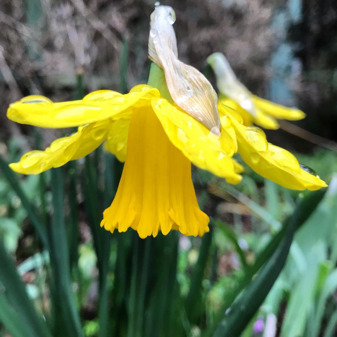 Narcissus bloom Milner Gardens & Woodland