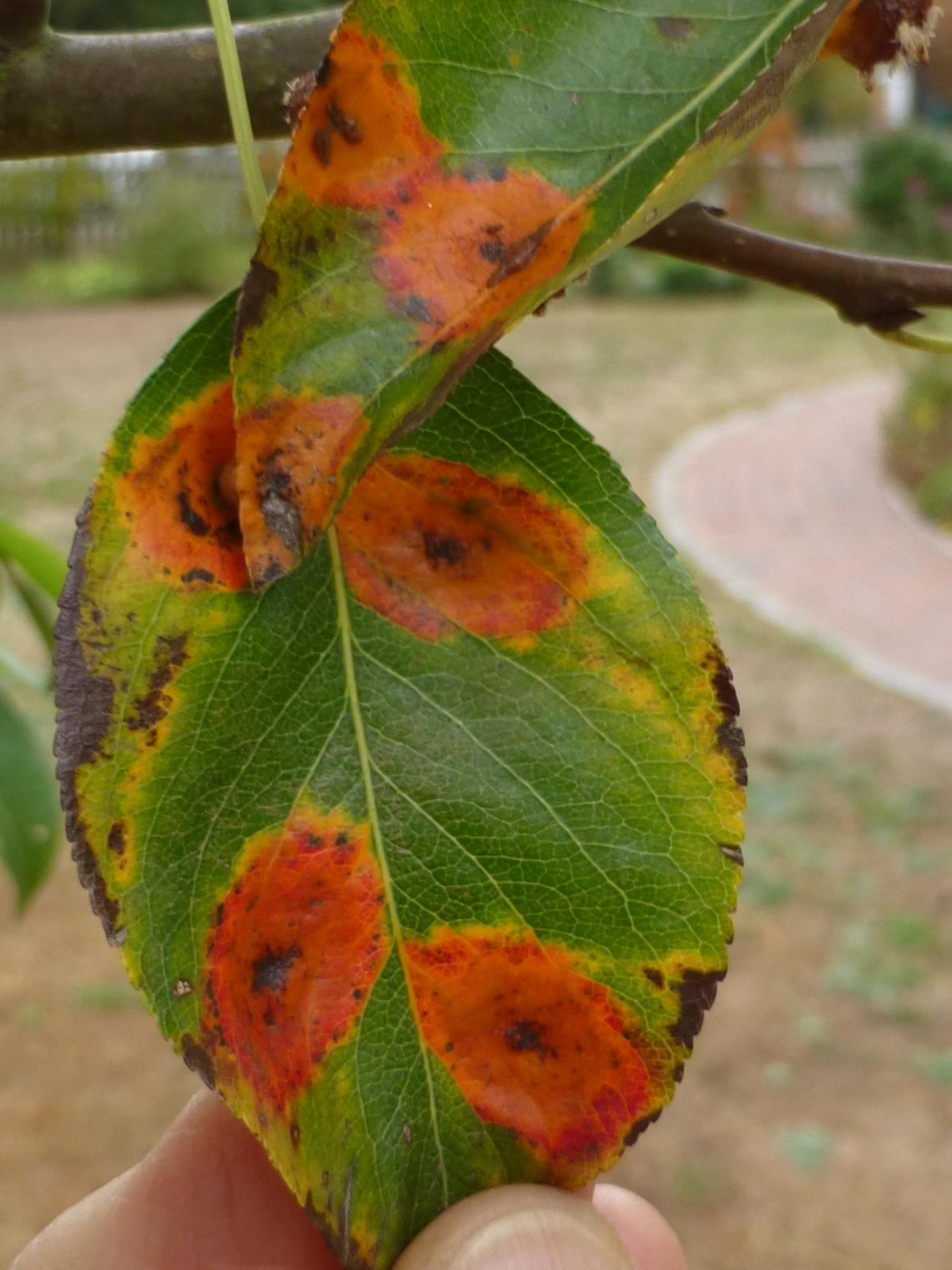 pear trellis rust