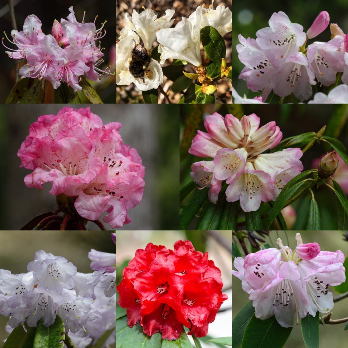 Rhodo blooms Greig Rhododendron Species Garden 2019